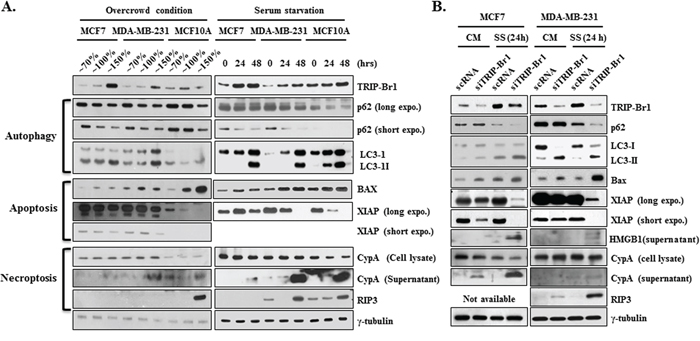 Inhibitory role of TRIP-Br1 in autophagy, apoptosis, and necroptosis.