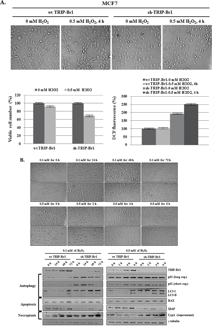 Inhibitory role of TRIP-Br1 in hydrogen peroxide (H2O2) induced cell death.