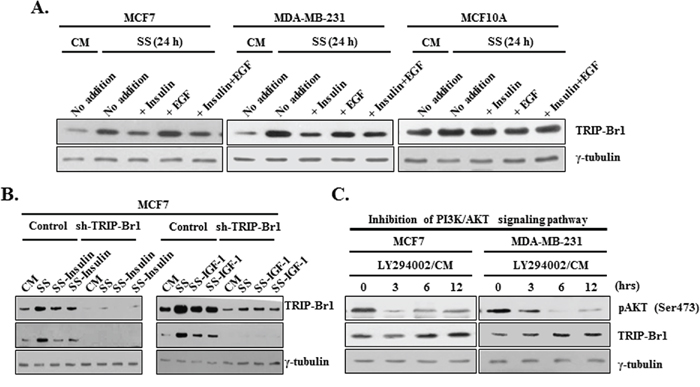 Effect of PI3K/AKT signaling pathway on TRIP-Br1 expression in serum-depleted condition.