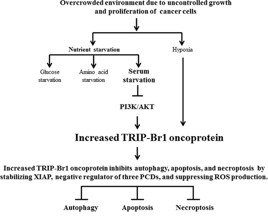 Schematic diagram showing the inhibitory role of TRIP-Br in autophagy, apoptosis, and necroptosis under nutrient/serum-deprived condition.