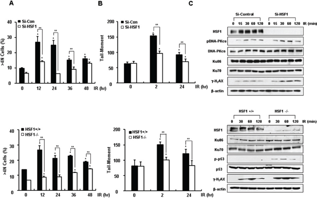 HSF1 inhibits damage repair activity.