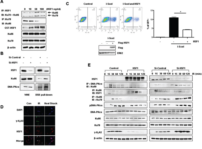 HSF1 inhibits binding activity between Ku70 and Ku86.