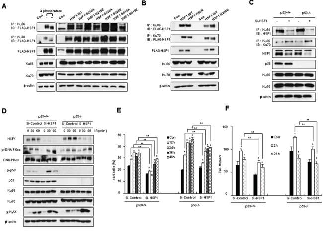 Posttranslational modification of HSF1 and cellular p53 status does not affect the interaction of HSF1-Ku70 or HSF1-Ku86.