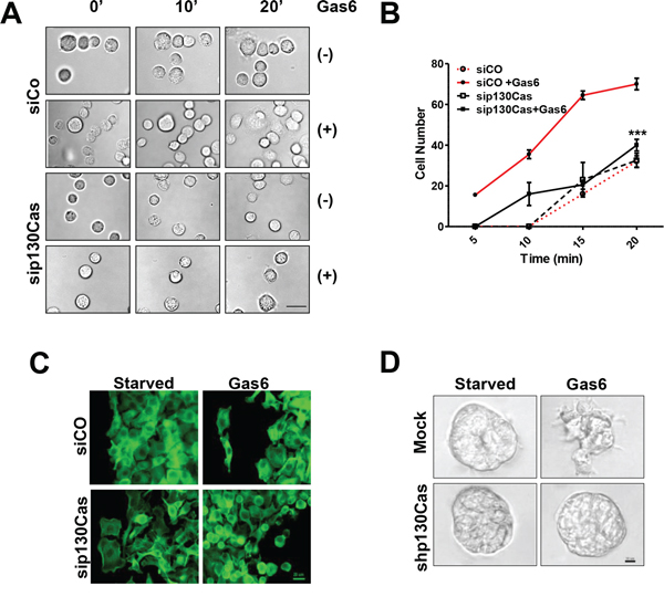 Reduction of Gas6-dependent adhesion and invasion following the impairment of p130Cas/Axl interactions.
