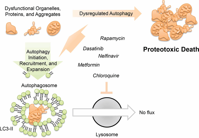 Model for dysregulated autophagy mediated proteotoxicity in ovarian cancer.