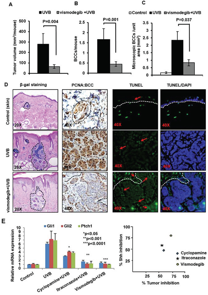 The SMO inhibitor Vismodegib partially attenuates UVB-induced BCC development in Ptch1+/−/SKH-1 mice.