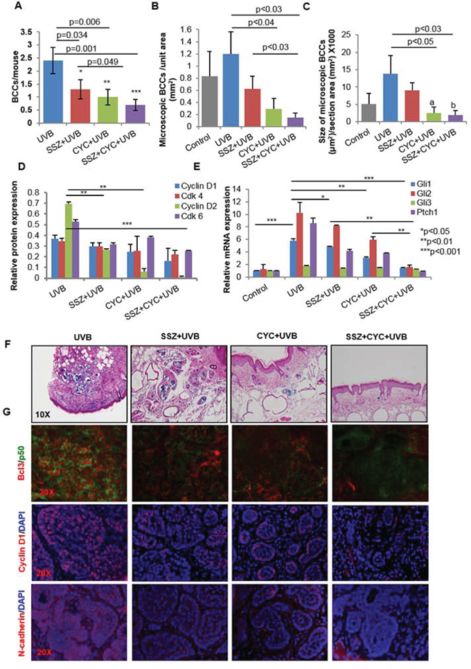 Blocking NFκB and Shh signaling respectively with sulfasalazine (SSZ) and cyclopamine (CYC) reduces growth of BCCs in Ptch1+/-/SKH-1 mice.