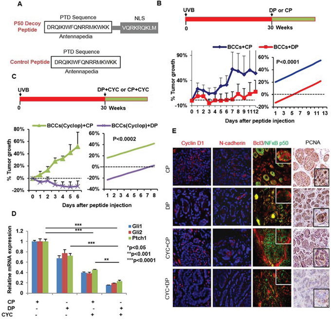Blocking NFκB with p50 decoy peptide (DP) reduces growth of BCCs in Ptch+/−/SKH-1 mice.