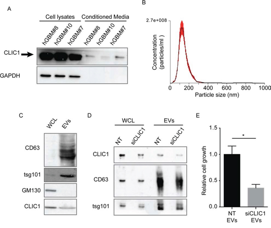 CLIC1 secreted protein resides in EVs released from GBM CSCs.