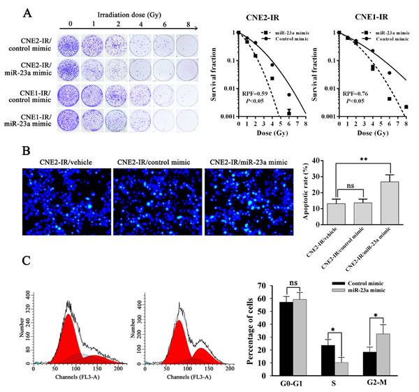 MiR-23a decreases NPC cell radioresistance