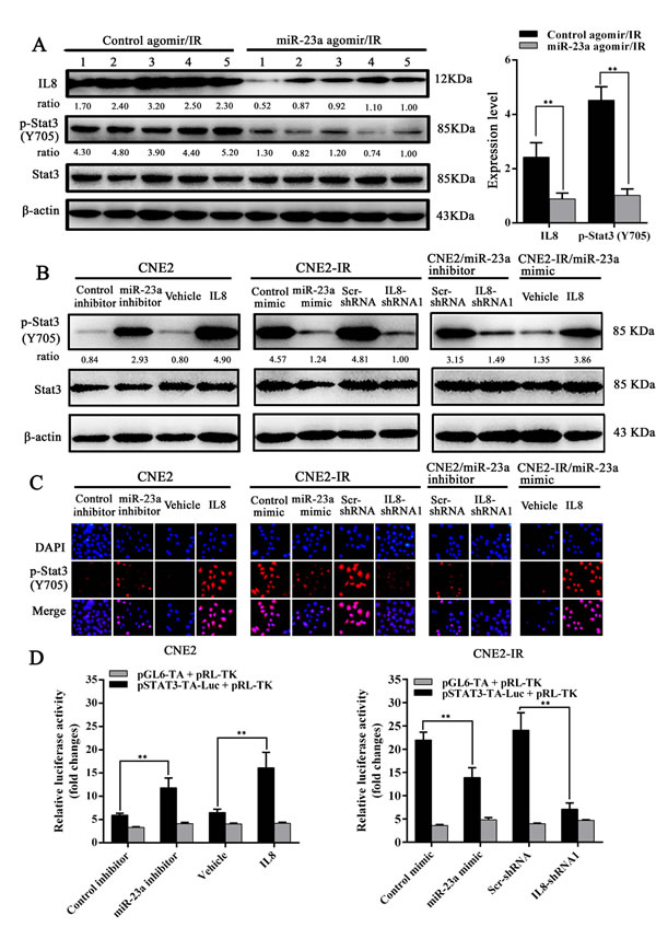 MiR-23a inhibits Stat3 activity by targeting IL-8 in NPC cells.