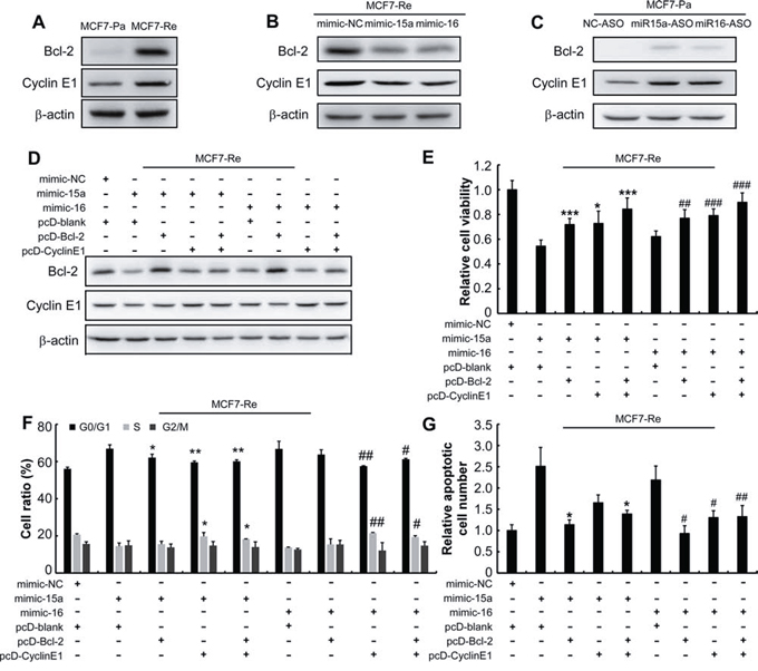 MiR-15a/16 reduce the resistance of MCF7-Re cells to tamoxifen by inhibiting Bcl-2 and Cyclin E1.