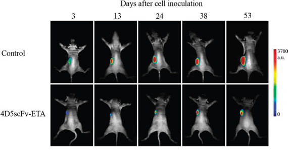 Sequential in vivo images of control (injection of PBS) and 4D5scFv-ETA-treated animals.