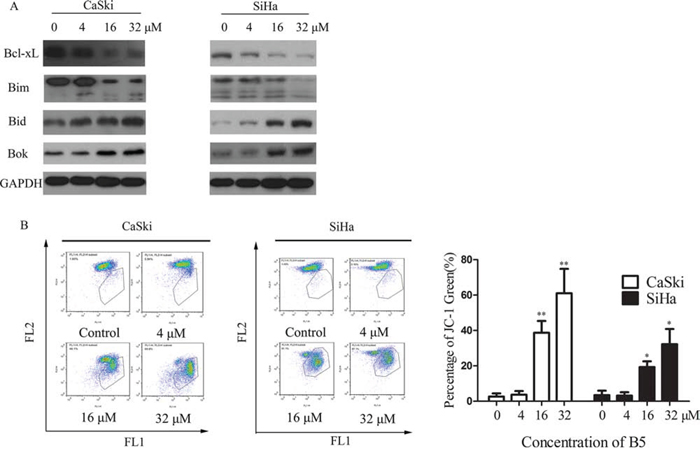 Effects of B5 on the Bcl-2 family proteins and mitochondrial membrane potential (MMP).