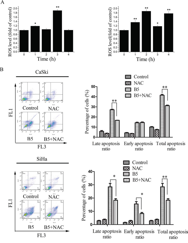 The role of ROS production in B5-induced cell apoptosis.