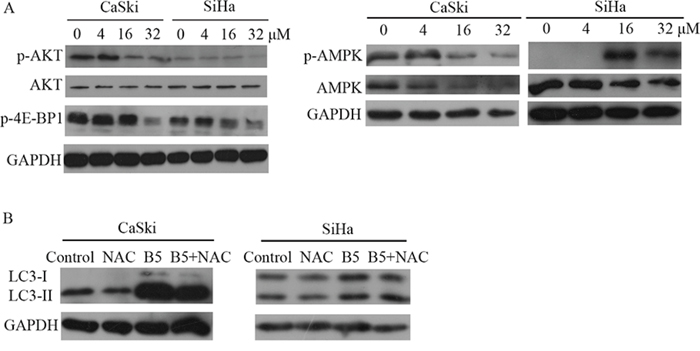 A. Expression levels of p-AKT, AKT, p-4E-BP1, AMPK and p-AMPK in CaSki and SiHa cells.