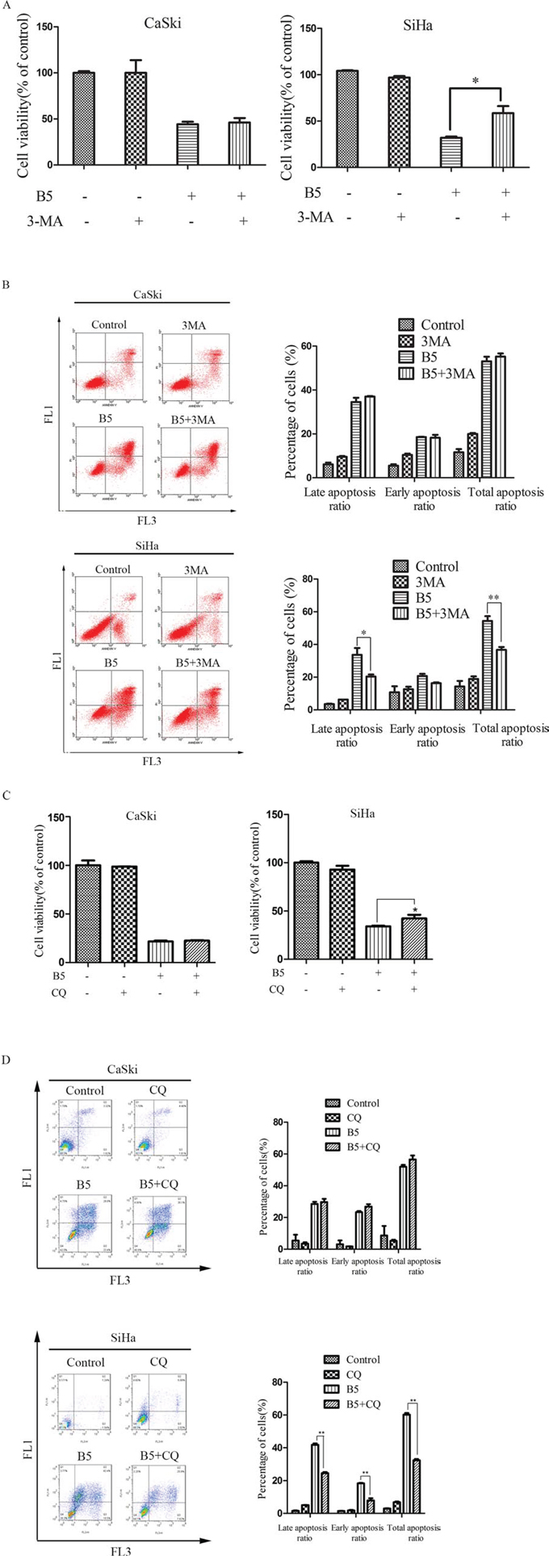 Effects of the autophagy inhibitors, 3-MA and CQ, on B5-induced cell growth inhibition and apoptosis.
