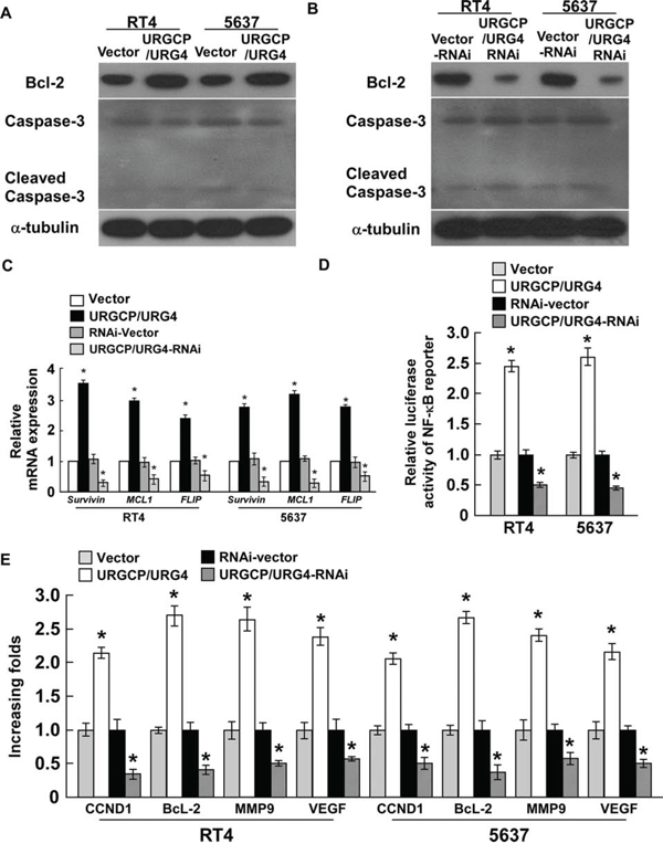 URGCP/URG4 regulates the expression of apoptotic related proteinsand activates NF-κB.