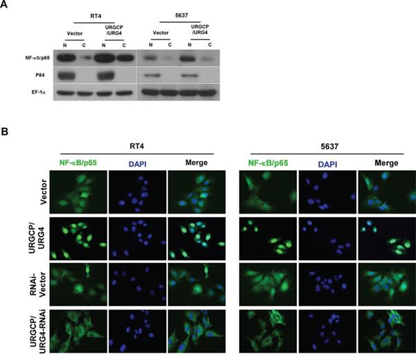 URGCP/URG4 activates NF-κB pathway.