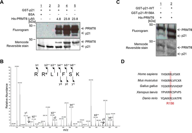 PRMT6 methylates p21 at arginine 156 in vitro.