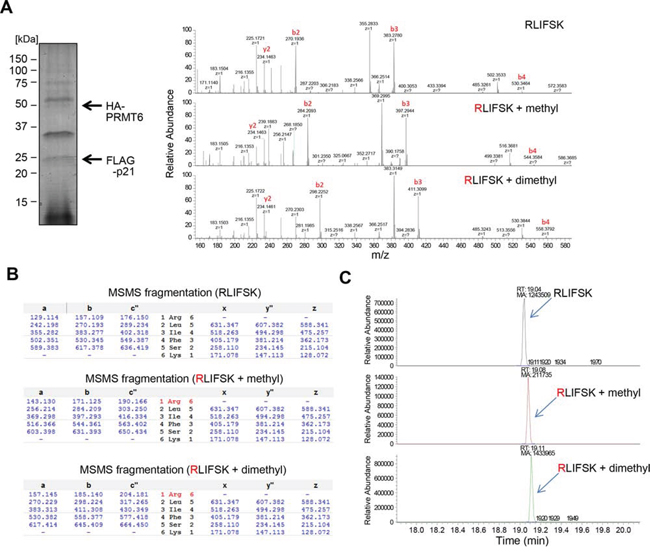 In vivo methylation of p21 was confirmed by LC-MS/MS analysis.