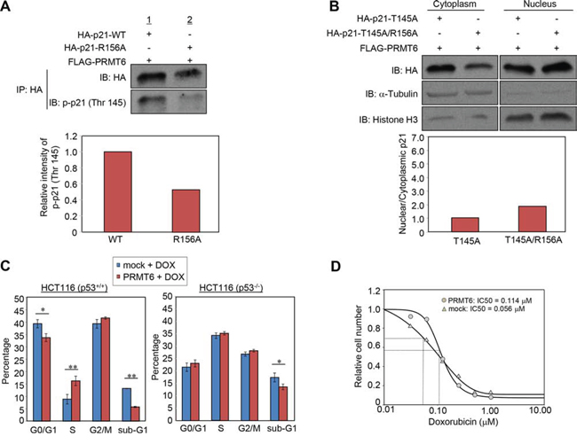 PRMT6-mediated p21 methylation affects p21 phosphorylation and chemosensitivity of cancer cells.