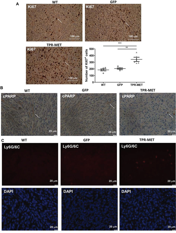 Activation of MET signaling in SMS-CTR ERMS cells enhances tumor proliferation, decreases tumor apoptosis and induces infiltration of neutrophils in vivo.
