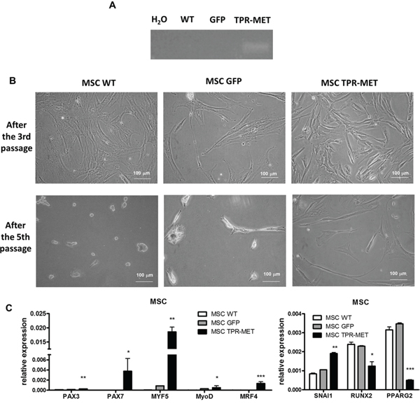 Activation of MET signaling in human mesenchymal stem cells induces prolonged survival and expression of myogenic markers.