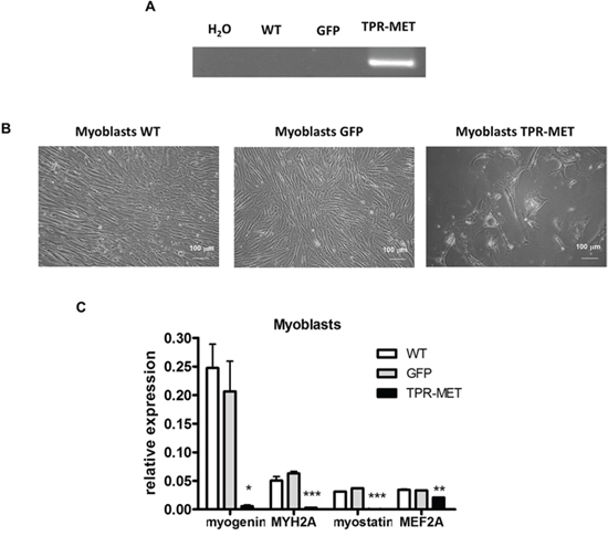Activation of MET signaling in human skeletal myoblasts blocks their growth and terminal differentiation.