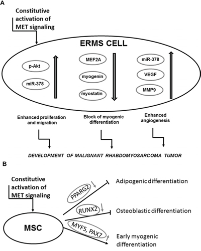 Activation of MET signaling blocks myogenic differentiation and promotes rhabdomyosarcoma development, angiogenesis and malignancy.