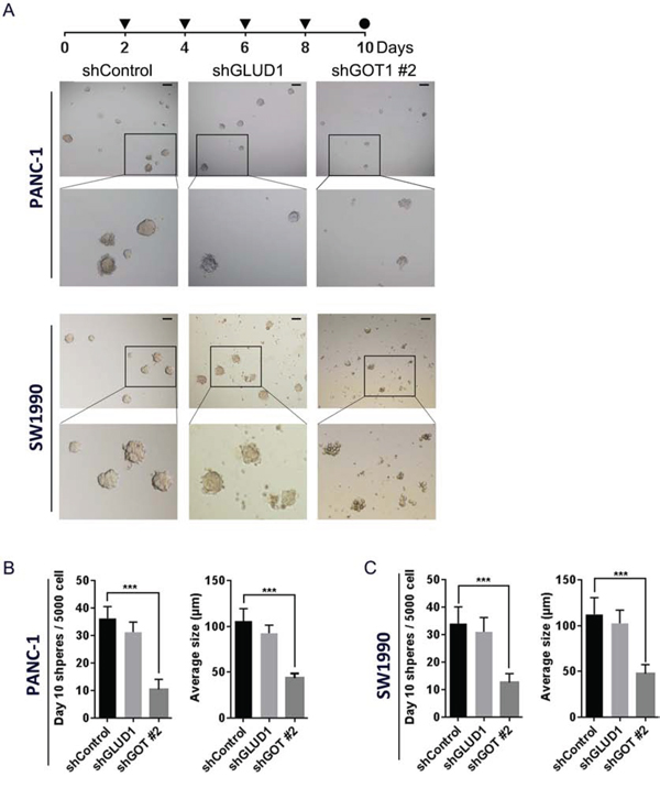 Inhibition of non-canonical glutamine metabolism impairs sphere formation following continuous lose-dose IR treatment.