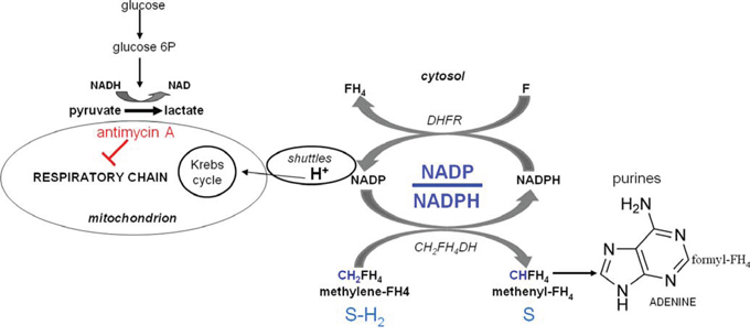 Scheme 1: Role of the cellular redox state in the control of purine synthesis.