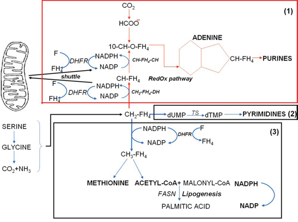 Scheme 2: The metabolic network controlling the synthesis of DNA bases as a function of folate metabolism.