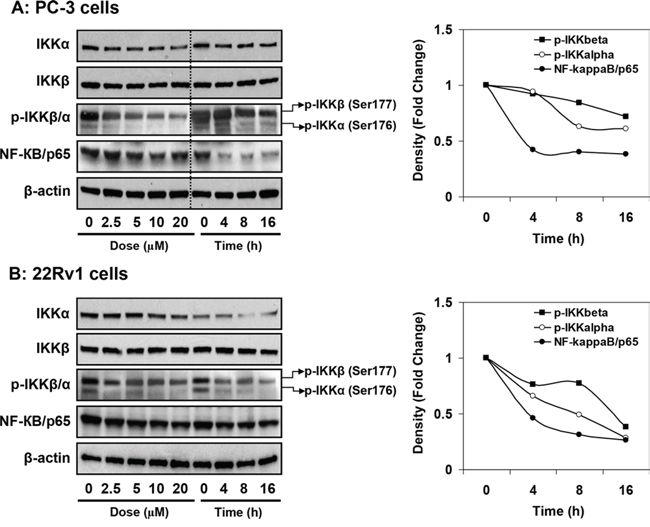 Effect of apigenin on IKKα/β its phosphorylation and NF-ĸB/p65 protein expression in human prostate cancer cells.