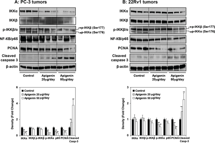 Effect of apigenin intake on the protein expression of IKKα/β and its phosphorylation, NF-ĸB/p65, and markers of proliferation and apoptosis in prostate tumor xenograft specimens obtained from athymic nude mice.