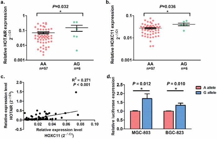 The allele-specific effects of SNP rs4759314 on HOTAIR and HOXC11 expression in 63 gastric cancer tissues and allele-specific promoter activity.