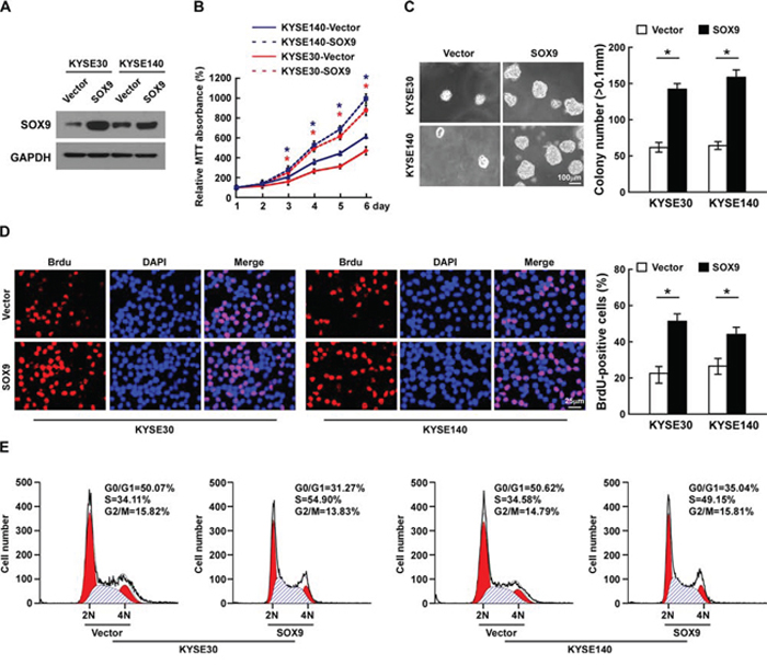 Overexpression of SOX9 promotes cell proliferation and tumorigenesis of ESCC in vitro.