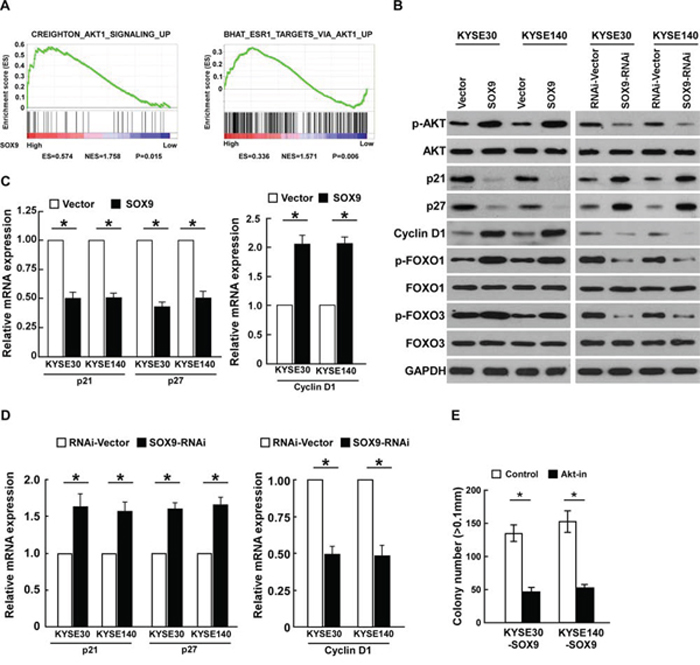Overexpressing SOX9 activates the Akt signaling pathway.