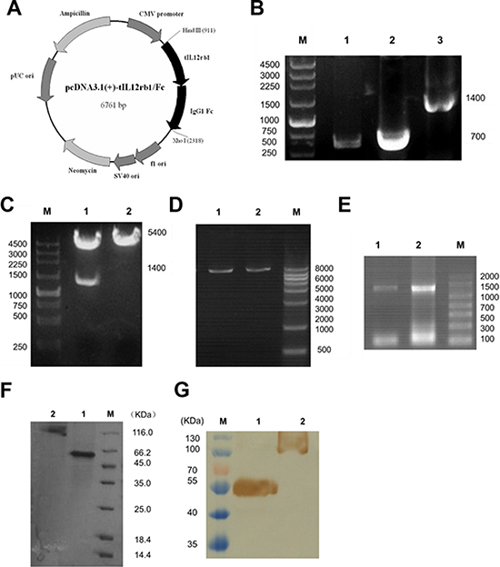 Construction, expression, and purification of tIL12rβ1/Fc.
