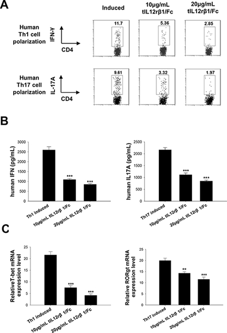 Role of tIL12rβ1/Fc in human Th1 and Th17 cell differentiation.