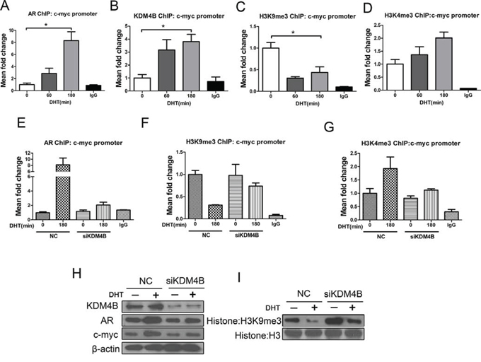 KDM4B activates AR target c-myc by demethylating H3K9me3 in response to androgens in MFE-296 cells.