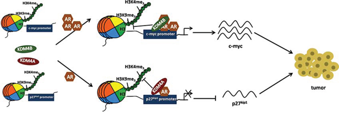Schematic of KDM4B and KDM4A regulation of AR signaling in EC.