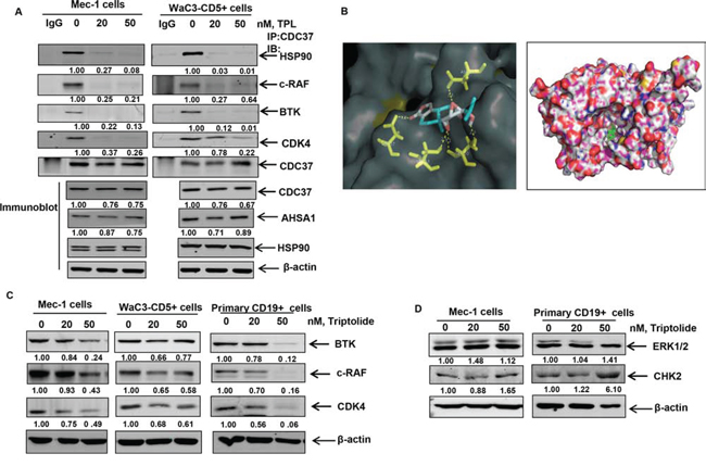 Triptolide treatment disrupts binding of HSP90 to CDC37 and HSP90 client proteins.