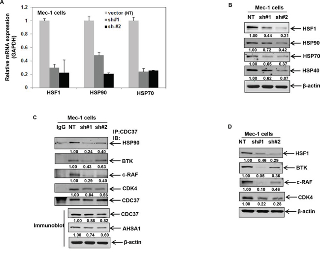Stable shRNA-mediated knockdown of HSF1 disrupts binding of HSP90 to CDC37 and HSP90 client proteins.