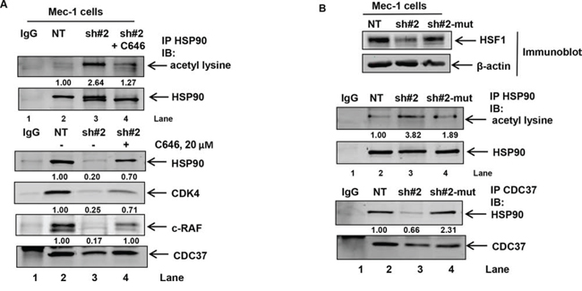 Treatment with the p300 inhibitor C646 or expression of shRNA insensitive HSF1 construct decreases HSF1-knockdown induced HSP90 acetylation and binding of HSP90 to CDC37.