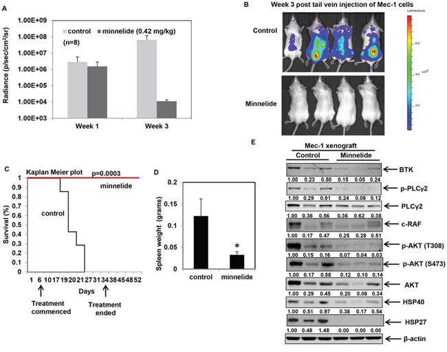 Minnelide treatment delays leukemogenesis and inhibits HSP90 function in an in vivo model of CLL.