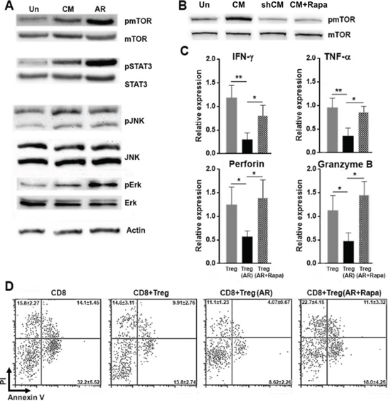 AR promotes Treg activity through mTORC1 signaling.