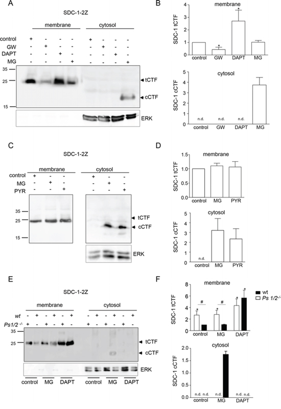 A syndecan-1 cCTFs is generated by γ-secretase and degraded via the proteasome.