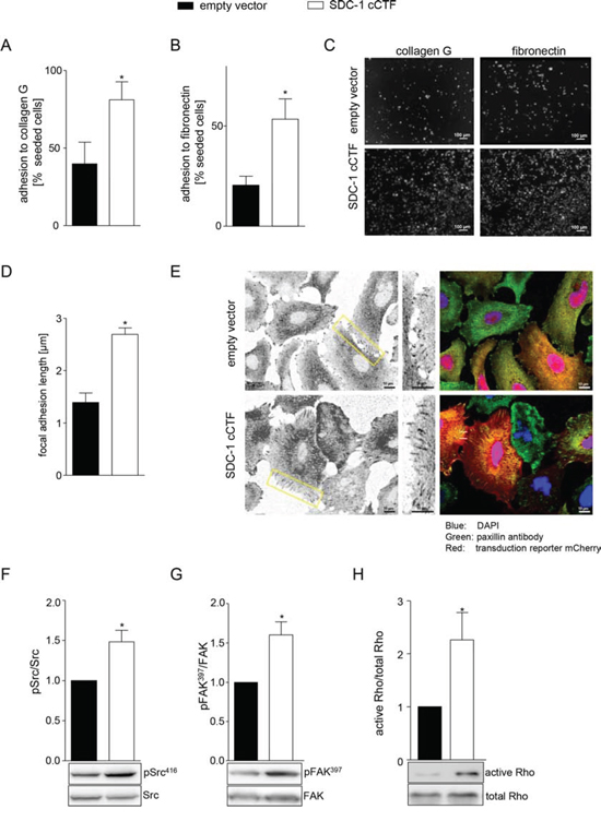 Overexpression of syndecan-1 cCTF promotes adhesive events and related signaling pathways.