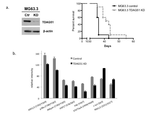 Suppression of TDAG51 expression improved overall survival in a mouse model of OS pulmonary metastasis and reduced the kinase activities of MAPK signaling pathway members.